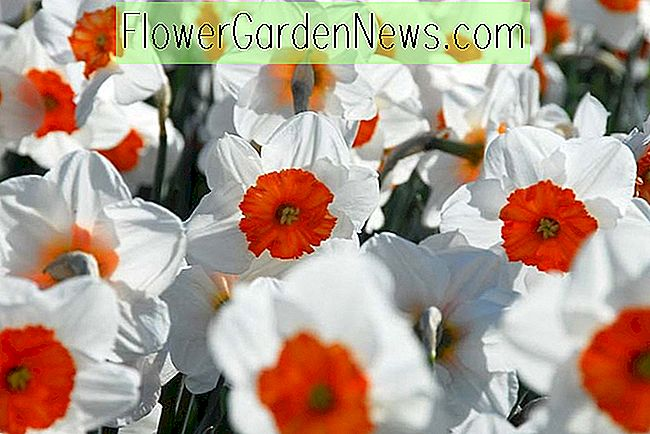 Narcissus 'Professor Einstein' (Large-Cupped Daffodil)