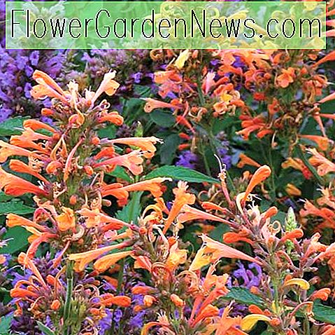 Agastache 'Summer Sunset' (Kolibri-Minze)