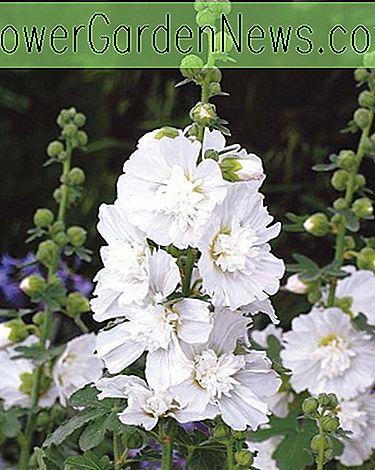 Alcea Rosea 'Spring Celebrities White' (Hollyhock)
