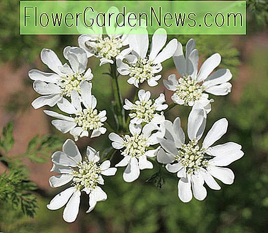 Orlaya grandiflora (White Blace Flower)