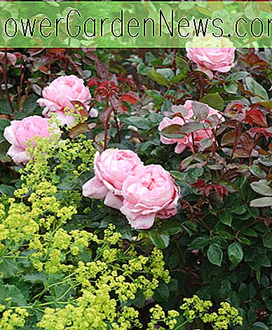 Rosa 'Brother Cadfael' (Ausglobe)