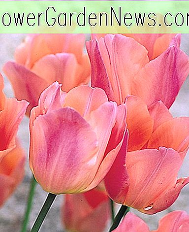 Tulipa 'Beauty Queen' (Tulipe ancienne simple)