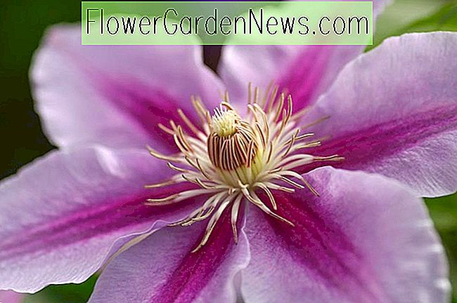 Clematis 'Bees' Jubilee '(Early Clematis de grandes flores)
