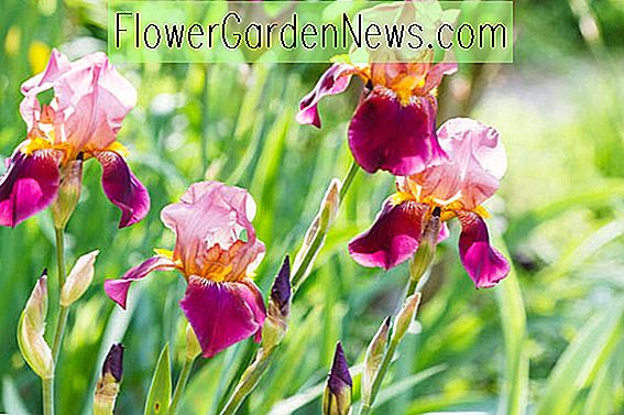 Flamboyant Late Blooming Bearded Irises