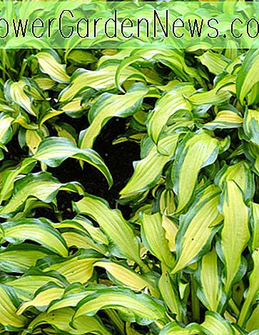 Hosta 'First Mate' (Plantain Lily)