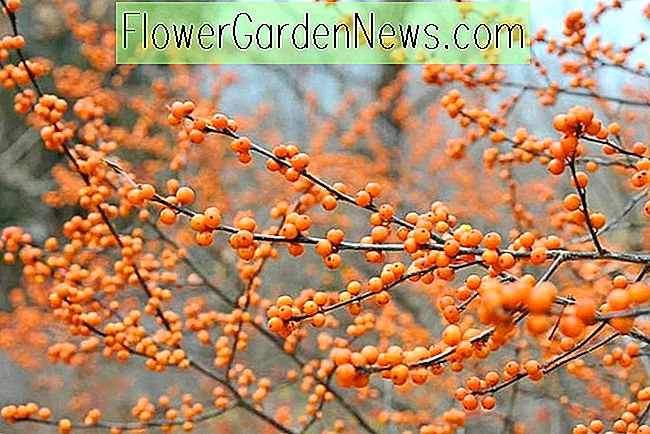 Ilex verticillata 'Winter Gold' (Winterberry)