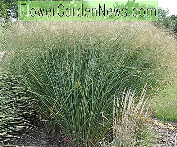 Panicum virgatum 'Cloud Nine' (Switch Grass)