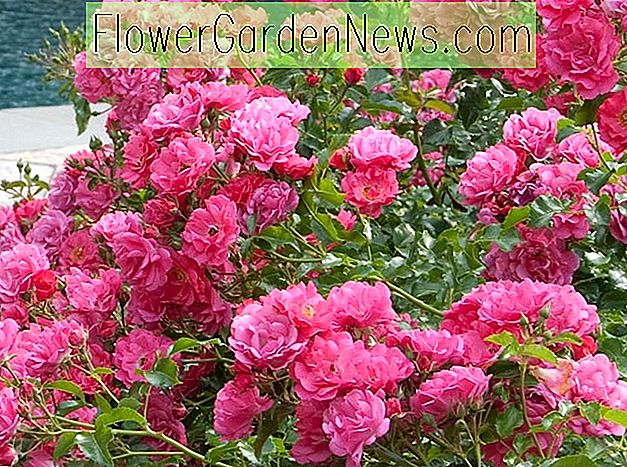Rosa 'Flower Carpet Pink Supreme'