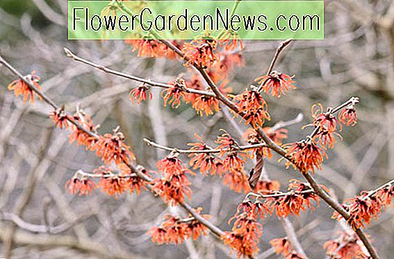 Hamamelis x intermedia 'Diane' (Witch Hazel)