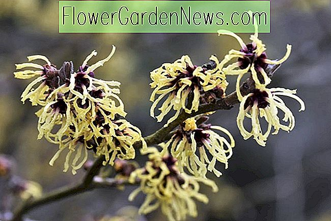 Hamamelis x intermedia 'Primavera' (Witch Hazel)
