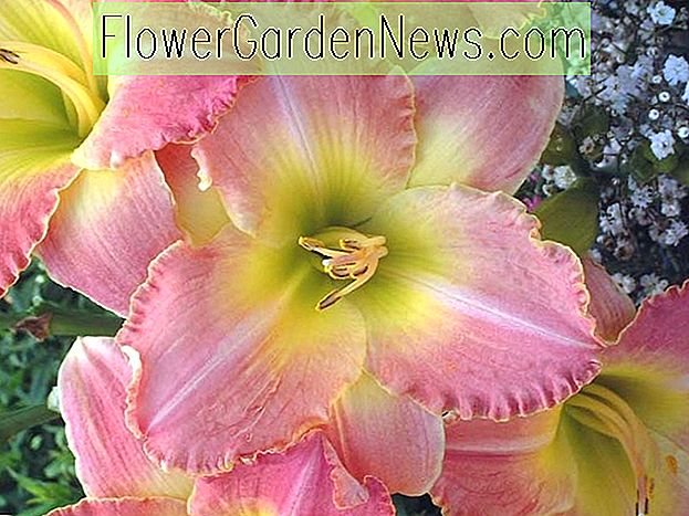 Hemerocallis 'Country Melody', Taglilie 'Country Melody', Taglilie 'Country Melody', 'Country Melody' Taglilie, Midseason Daylily, rosa Taglilien, rosa Taglilie, Taglilien, rosa Blüten, rosa Hemerocallis