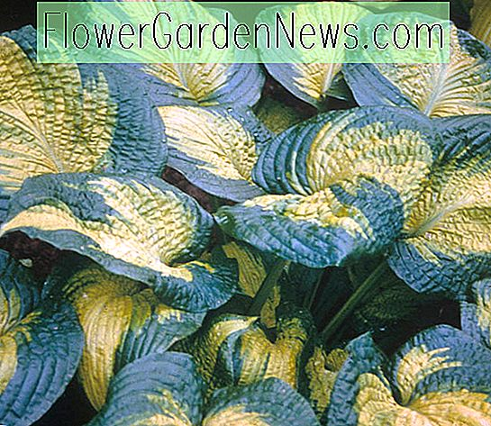 Hosta 'Brother Stefan' (Plantain Lily)
