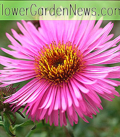 Aster novae-angliae 'Barr's Pink' (New England Asters)