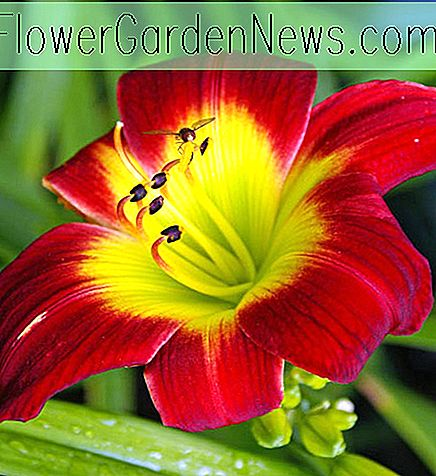 Hemerocallis 'Christmas Is' (Reblooming Daylily)