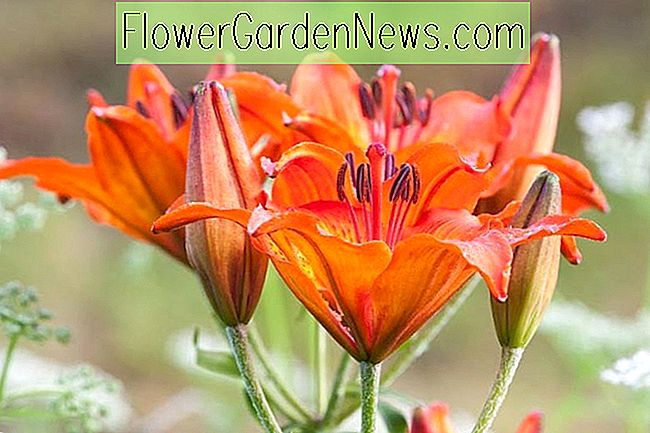 Lilium bulbiferum var.  croceum (Orange Lily)