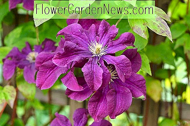 Clematis 'Etoile Violette' (Viticella-Gruppe)