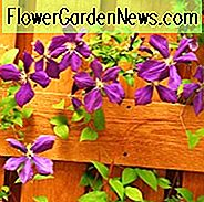 Clematis blooming season, Clematis bloom season, Clematis flowering season, Clematis flowering time, Clematis calendar, Clematis bloom time
