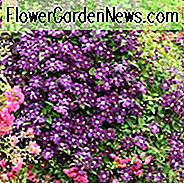 Combining Roses and Clematis, Mixing clematis and roses, Growing clematis and roses, Clematis and Roses Combinations, Best Climbing Roses, Best Clematis, Planting Roses and Clematis, Pruning Roses and Clematis