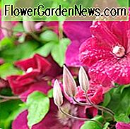 container planting, container growing, Clematis for small gardens, Clematis for Balconies, clematis for containers, large flowered clematis, early clematis, late clematis