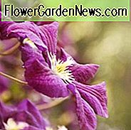 container planting, container growing, clematis for containers, large flowered clematis, early clematis, late clematis