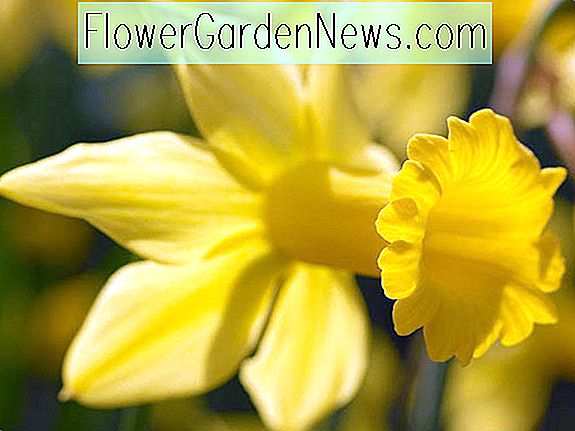 Narcisse 'Gold Gold' (Cyclamineus Jonquille)