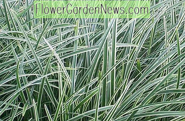 Carex 'Ice Dance', Japanische Segge 'Ice Dance', Morrows Sedge 'Ice Dance', Carex morrowii 'Eistanz', Variegated Sedge, Ziergräser,