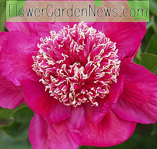 Paeonia lactiflora 'Barrington Belle' (Pfingstrose)