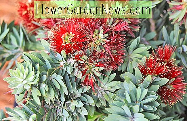 Callistemon viminalis 'Little John' (Bottlebrush)