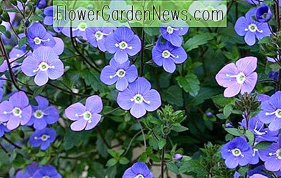 Veronica umbrosa 'Georgia Blue' (Speedwell)