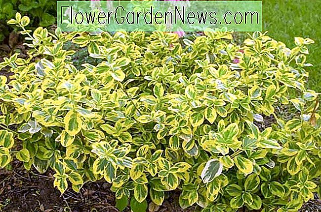 Euonymus Fortunei 'Gold Splash', Wintercreeper 'Gold Splash', Spindle 'Gold Splash', Euonymus fortunei 'Roemertwo', wintergroene struiken