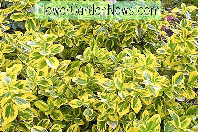 Euonymus Fortunei 'Gold Splash' (Wintercreeper)