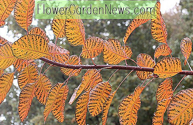 Cotinus 'Grace' (Smokebush)