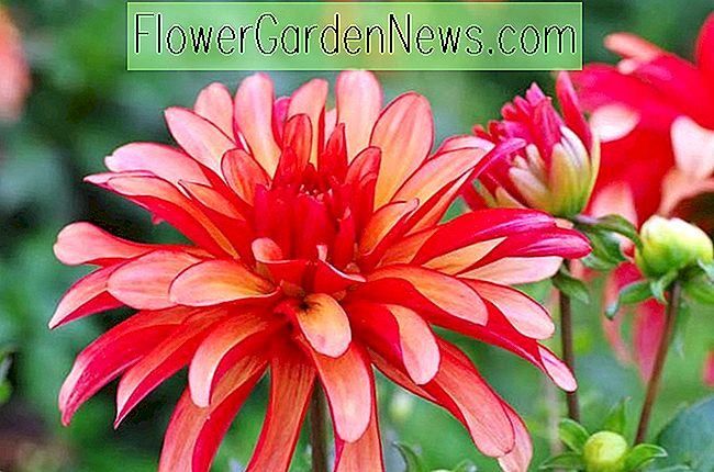 Dahlia 'Galleri Art Deco'