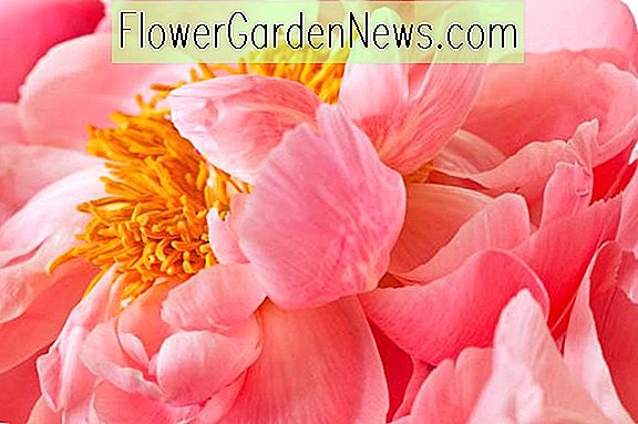 Coral Peonies For Your Garden