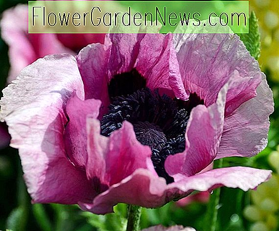 Papaver orientale 'Plum Pudding' (Oosterse klaproos)