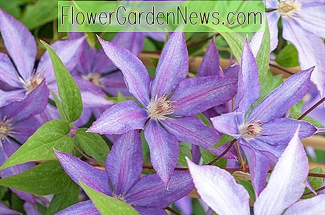 Clematis 'Kathleen Dunford' (Early Large Flowered Clematis)