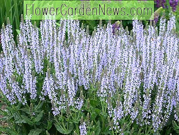Salvia nemorosa 'Crystal Blue' (salvie)