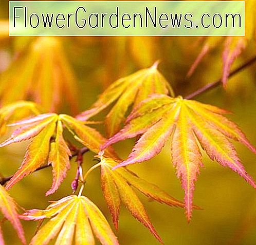 Acer palmatum 'Orange Dream' (Japanischer Ahorn)