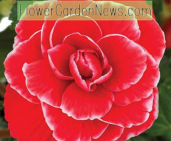 Begonia 'Picotee Lace Red'