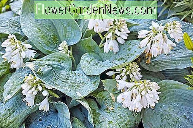 Hosta 'Blue Angel' (sieboldiana) (Plantain Lily)
