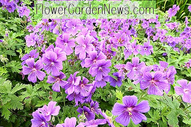 Great Hardy Geraniums jako Ground Covers