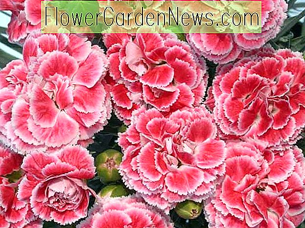 Dianthus 'Coral Reef' (roze)