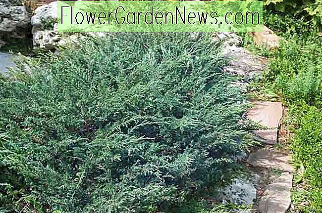 Juniperus horizontalis 'Wiltonii' (Creeping Juniper)
