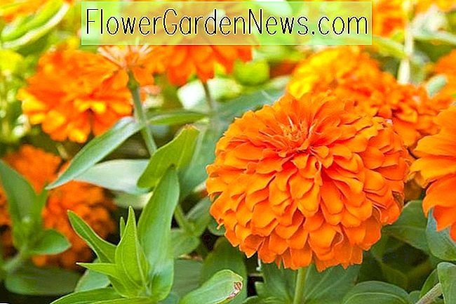 Zinnia 'Benary's Giant Orange'