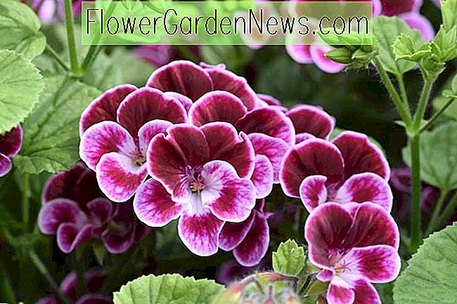 Pelargonium 'Henry Weller' (Angel Pelargonium)