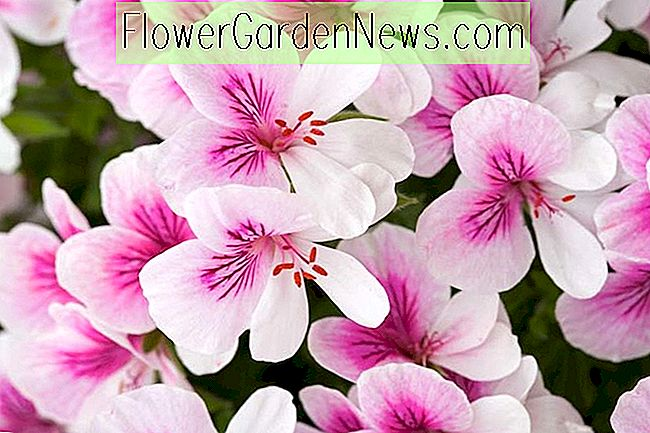 Pelargonium 'Imperial Butterfly' (Duftblatt Angel Pelargonium)