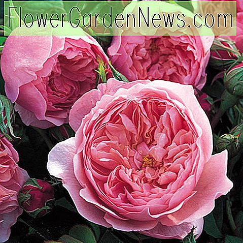 Rosa 'The Alnwick Rose' (Ausgrab)