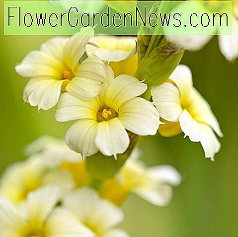 Sisyrinchium striatum (Pale Yellow Eyed Grass)
