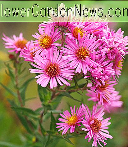 Aster novae-angliae 'Harringtons Pink' (New England Asters)