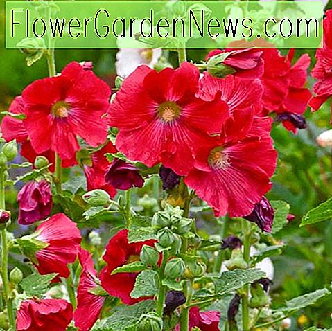 Alcea rosea 'Mars Magic', Hollyhock 'Mars Magic', hohe Staude, rote Blüten, Red Alcea, Red Hollylock